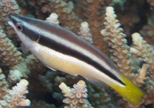 Губан-доктор желтохвостый (Diproctacanthus xanthurus)
