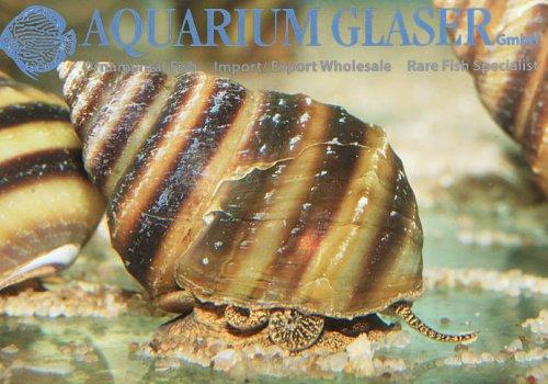 Улитка Тайя (Taia naticoides, piano snail)
