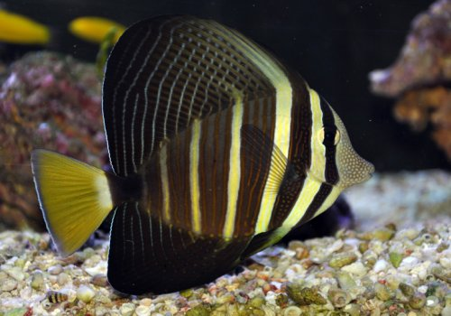 Зебрасома парусная (Zebrasoma veliferum)